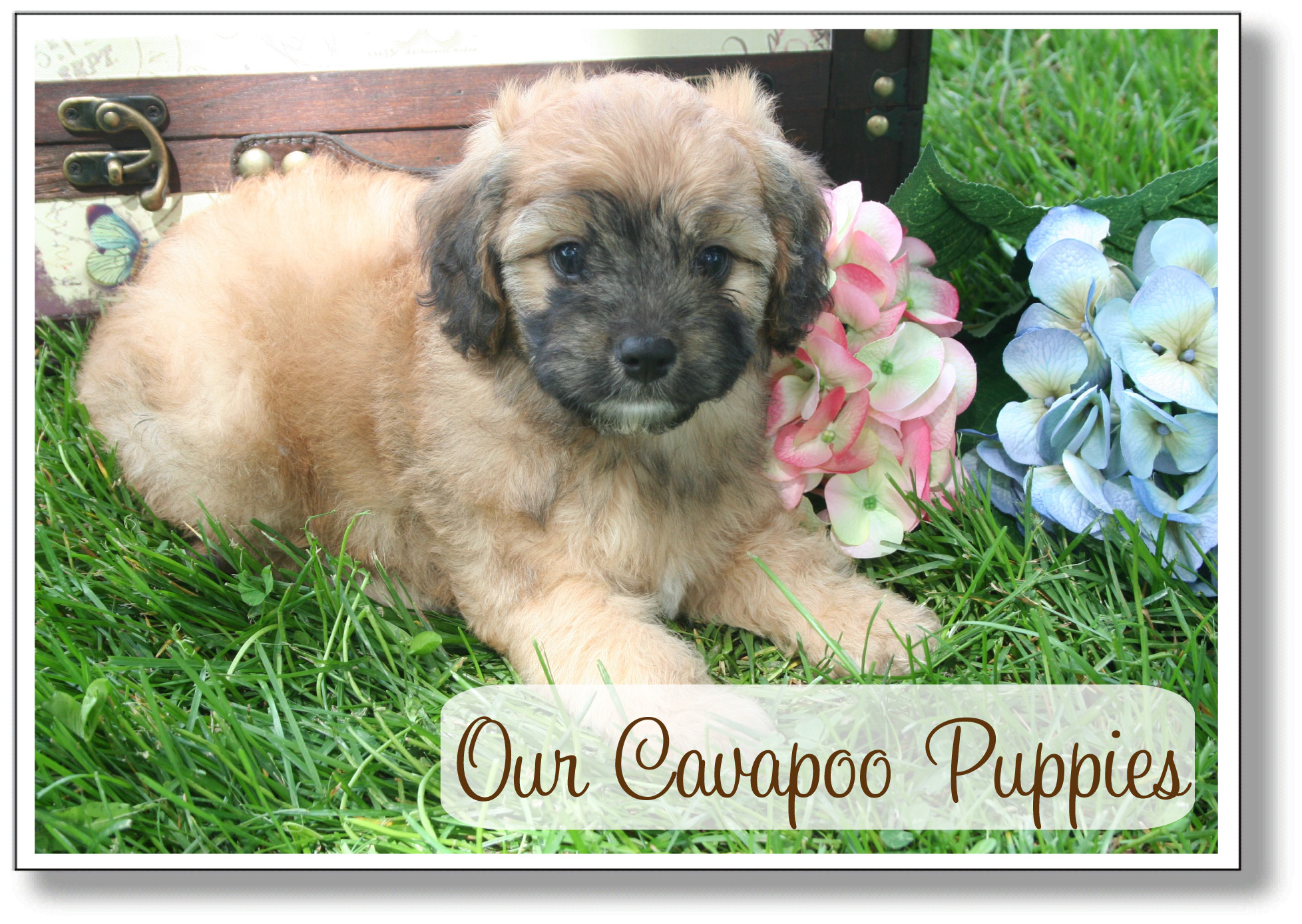 Cavapoo Puppies!!